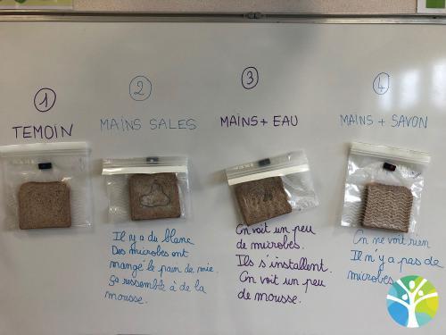 Nos expériences autour des microbes : MSGS A